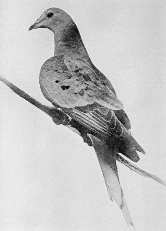 Martha the Passenger Pigeon (PHOTO FROM WIKIPEDIA)